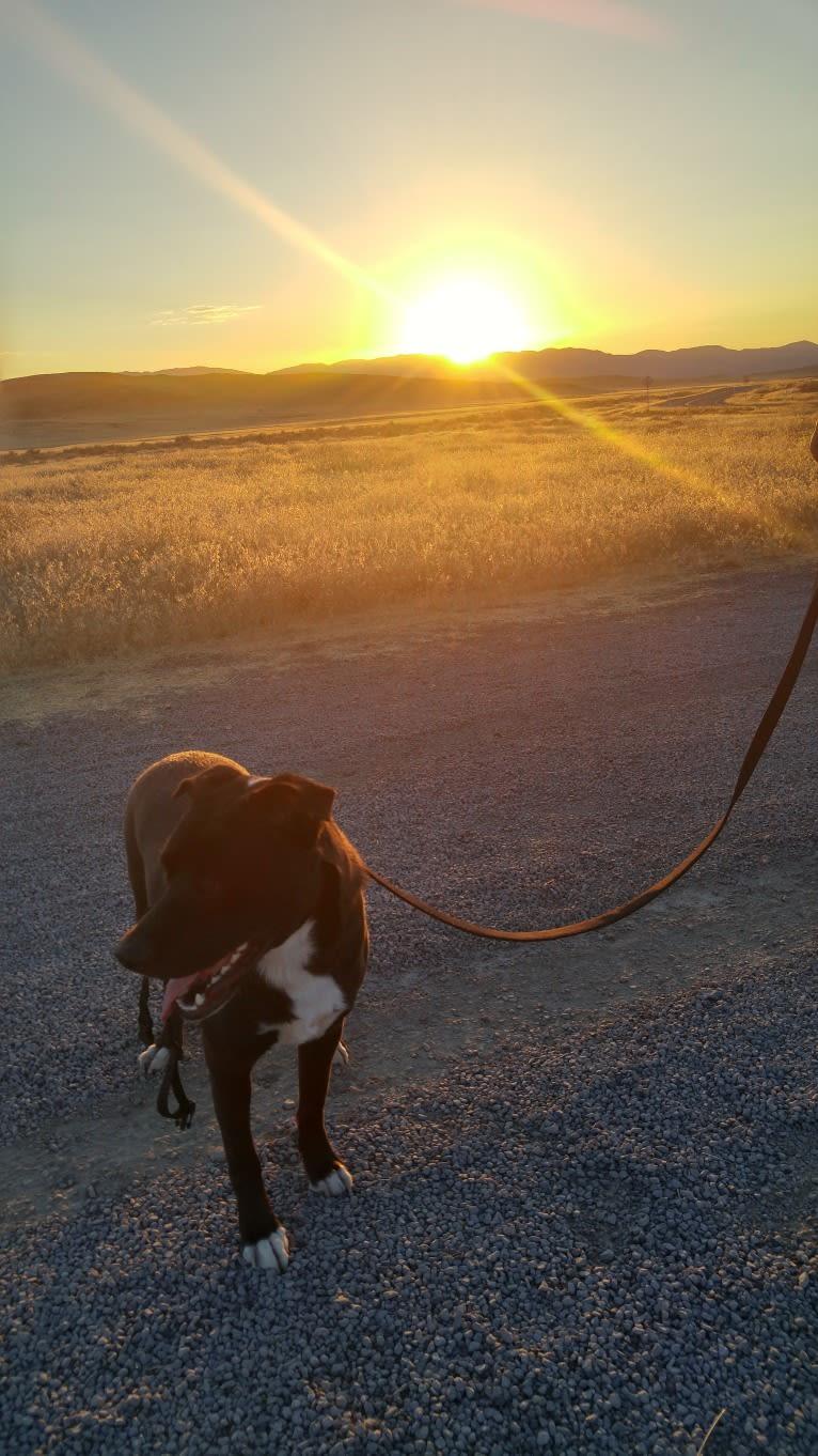 Photo of Benji, a Boxer, Miniature/MAS-type Australian Shepherd, Rottweiler, Border Collie, German Shepherd Dog, and Mixed mix in Reno, Nevada, USA