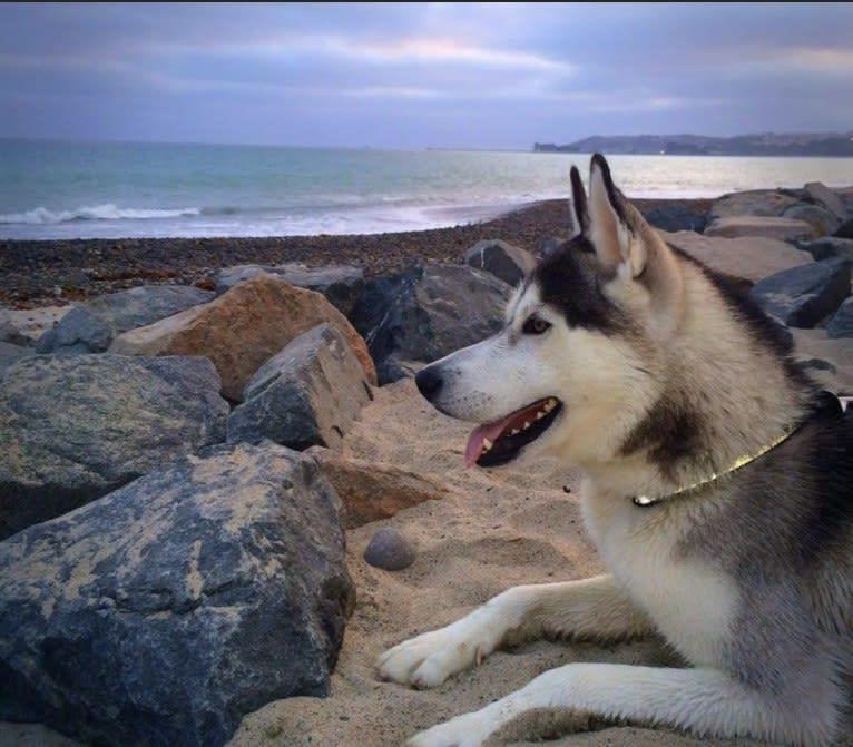 Photo of Buck, a Siberian Husky and German Shepherd Dog mix in San Clemente, California, USA