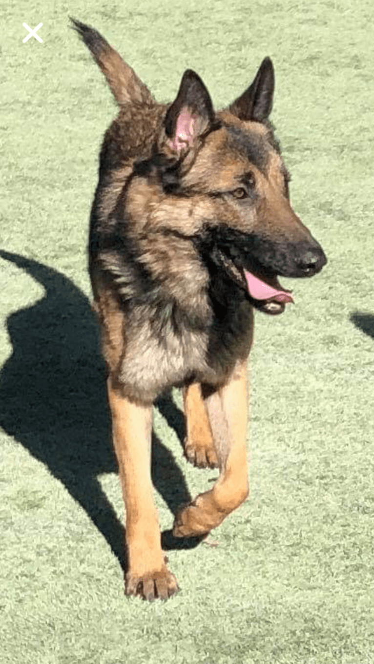 Photo of Munch, a German Shepherd Dog and Belgian Malinois mix in Farmington, Connecticut, USA