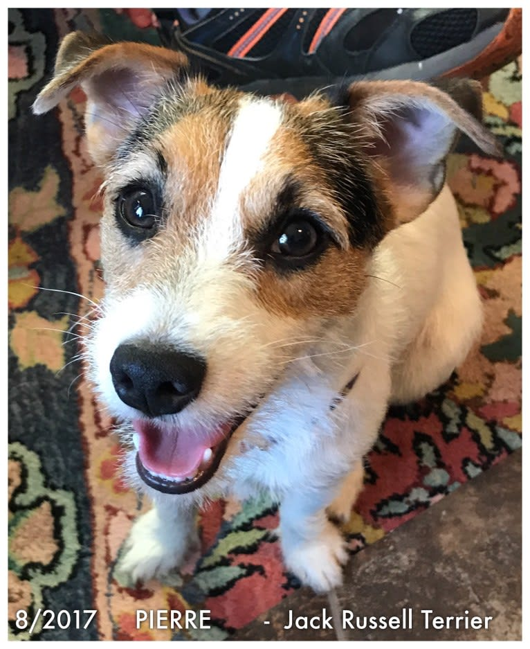 Photo of Pierre, a Russell-type Terrier  in Alexandria, Louisiana, USA