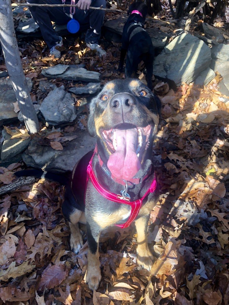 Photo of Bailey, a Labrador Retriever, American Pit Bull Terrier, and Rottweiler mix in Virginia, USA
