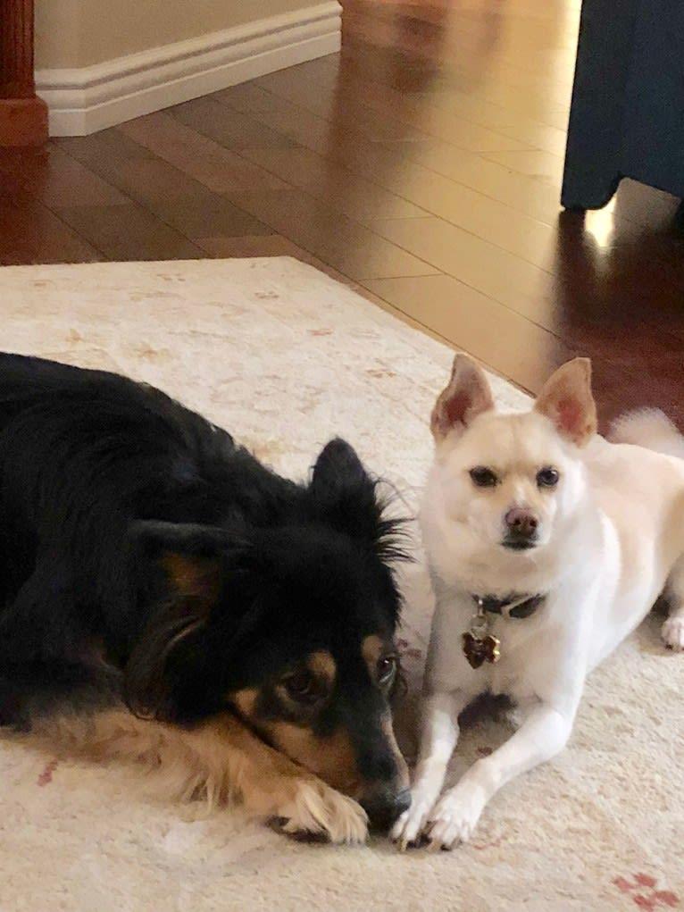 Photo of Jax, a German Shepherd Dog, Chow Chow, Australian Cattle Dog, Doberman Pinscher, and Siberian Husky mix in California, USA