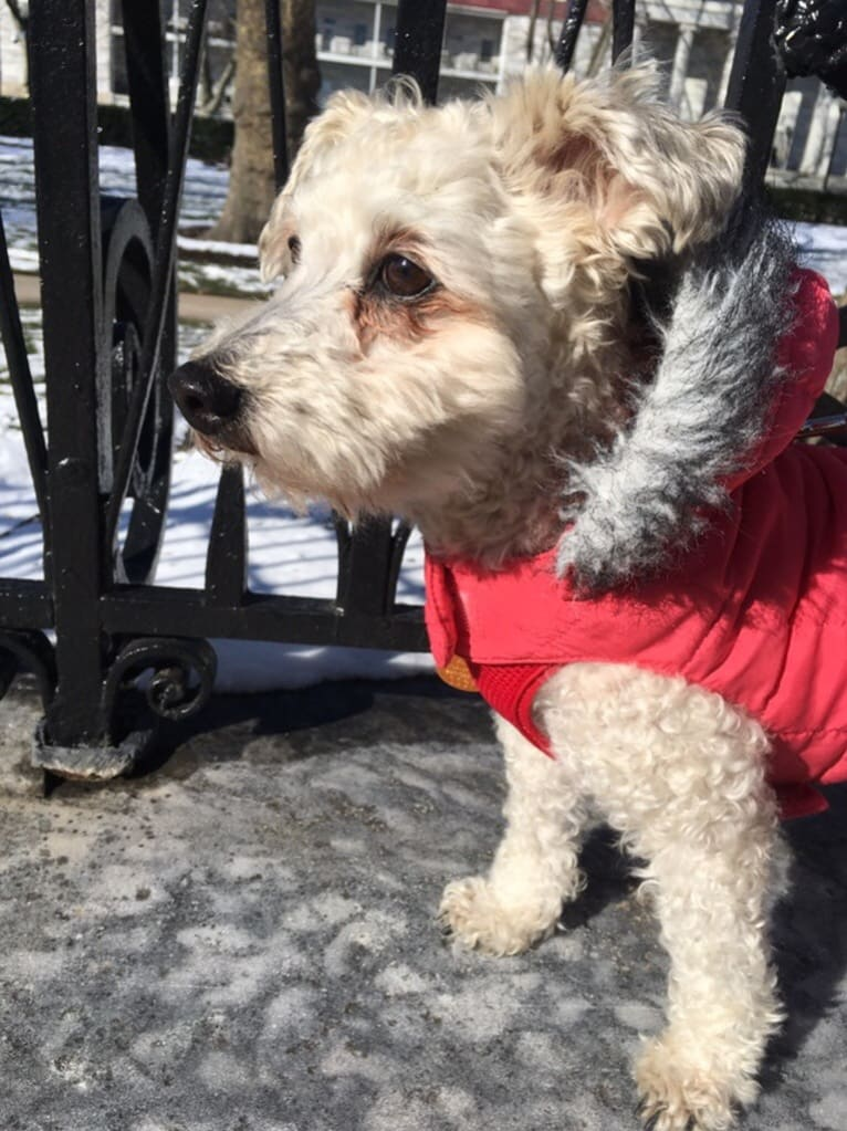 Photo of Slim Shady, a Bichon Frise, Havanese, and Mixed mix in Philadelphia, Pennsylvania, USA