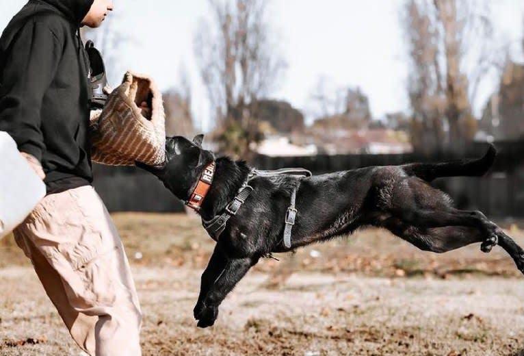 Photo of Reaper, a Belgian Shepherd  in San Francisco, CA, USA