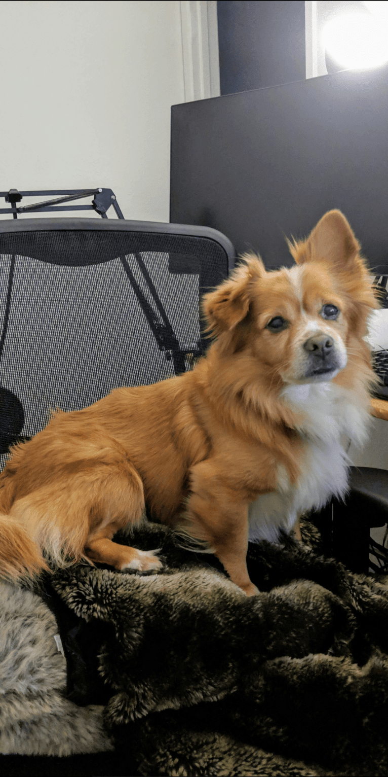 Photo of Sean, a Pomeranian, Chihuahua, and Mixed mix in Vacaville, California, USA