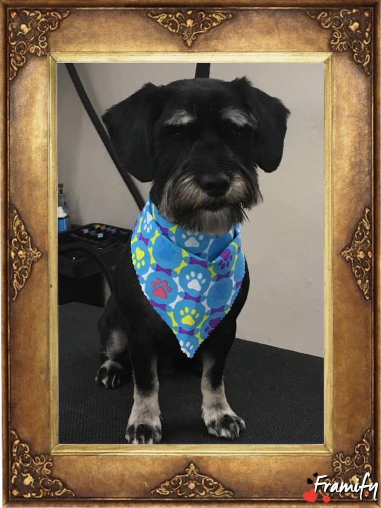 Photo of Tucker, a Miniature Schnauzer, Silky Terrier, Shih Tzu, and Cocker Spaniel mix in Texas, USA