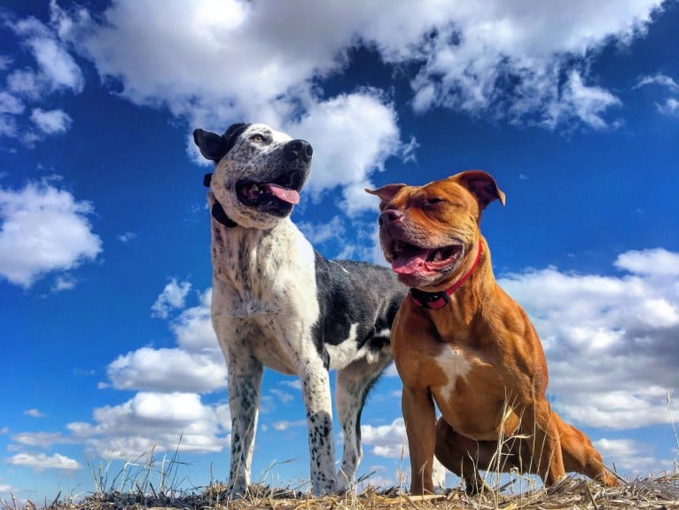 Photo of Monty, an American Pit Bull Terrier and Great Pyrenees mix in Alberta, Canada
