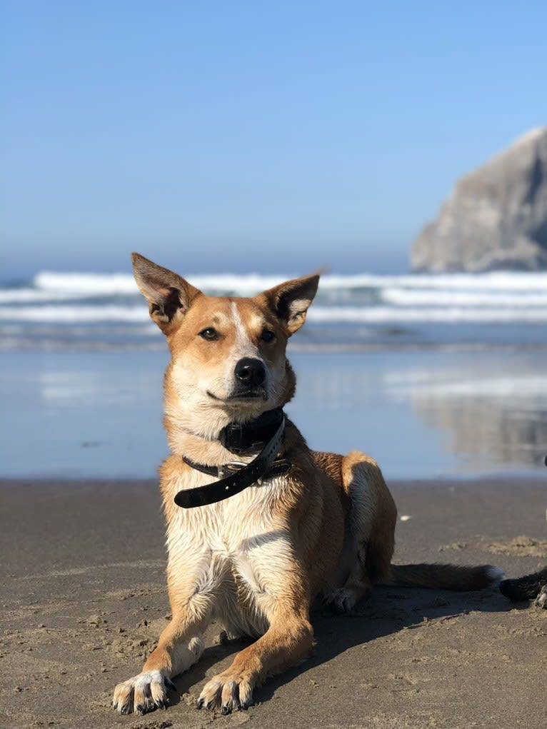 Photo of Finch, an Australian Cattle Dog, Belgian Malinois, Border Collie, Great Pyrenees, and Mixed mix in Porterville, California, USA