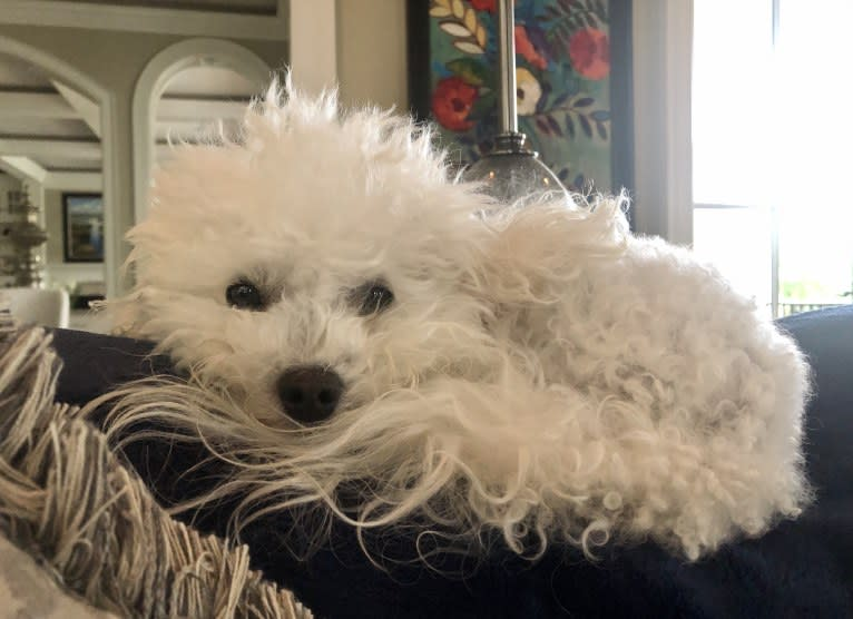 Photo of Peyton, a Poodle (Small)  in Colorado Springs, CO, USA