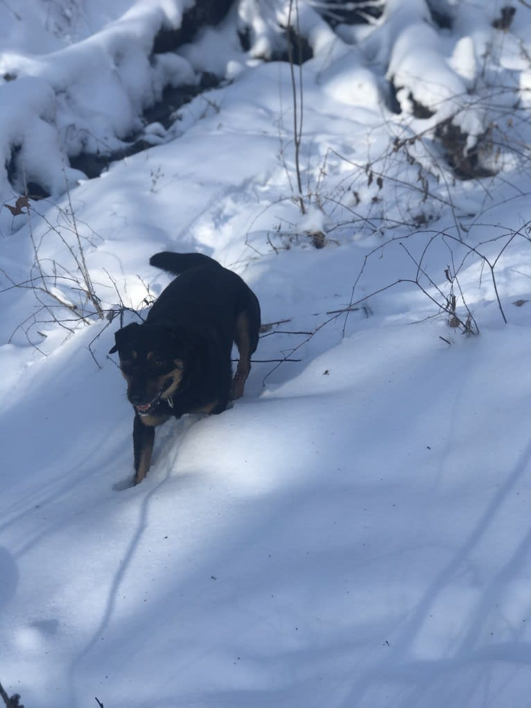 Photo of Rayson, an Australian Cattle Dog, Labrador Retriever, and Australian Shepherd mix in Texas, USA