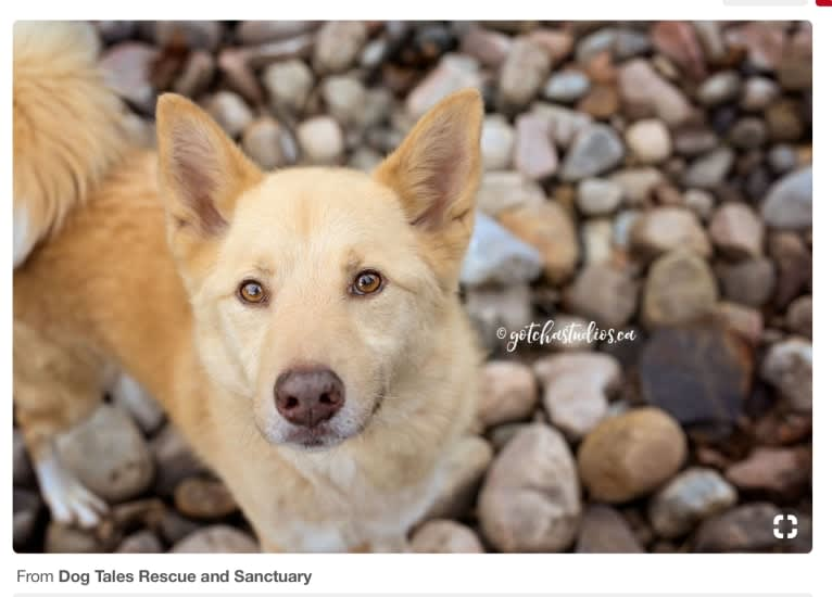 Photo of Damon, a Samoyed, German Shepherd Dog, Siberian Husky, Miniature Pinscher, and Mixed mix in Israel