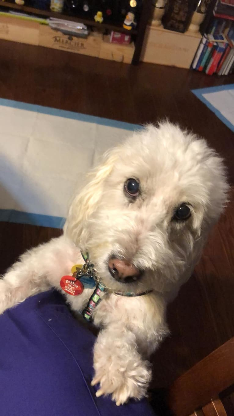 Photo of Winston, a Poodle (Small)  in Collingswood, New Jersey, USA