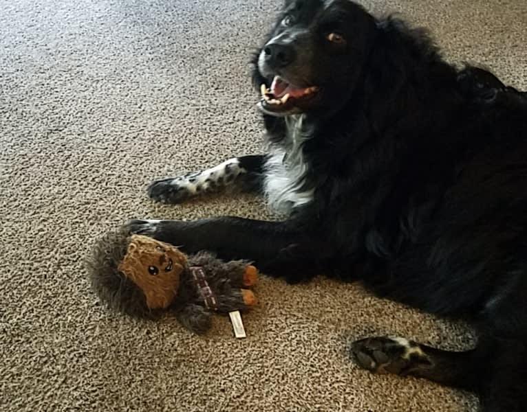 Photo of Jack, a Border Collie, American Pit Bull Terrier, Australian Shepherd, Australian Cattle Dog, Siberian Husky, and Mixed mix in Lakewood, Washington, USA