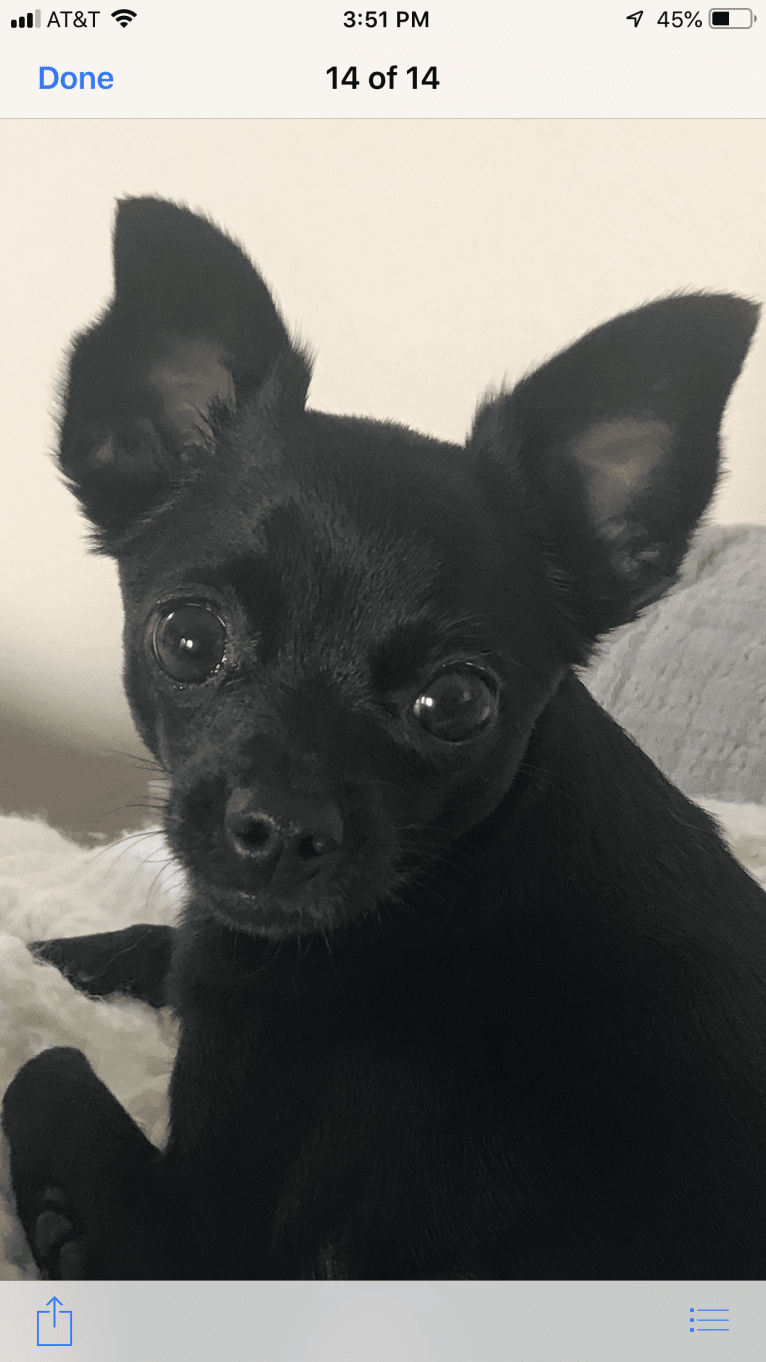 Photo of Mia, a Chihuahua, Miniature Pinscher, and Mixed mix in Irvine, California, USA