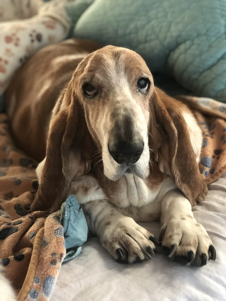 Photo of Baxter, a Basset Hound  in Burlington, WI, USA