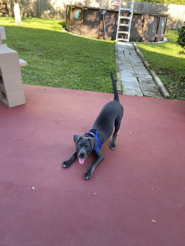 Photo of Sir Albus, an American Pit Bull Terrier, Australian Cattle Dog, Labrador Retriever, and American Staffordshire Terrier mix in St Marys, Georgia, USA