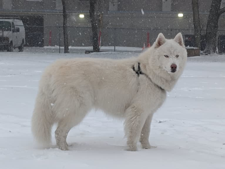Photo of Ghost, a Siberian Husky  in Springfield, Illinois, USA