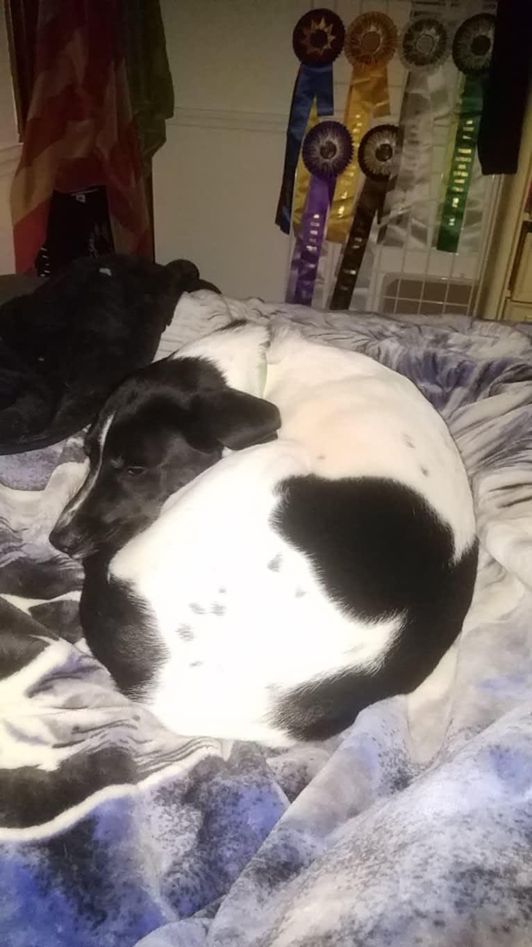 Photo of Trooper, a Labrador Retriever, Siberian Husky, Boxer, Australian Shepherd, and American Bulldog mix
