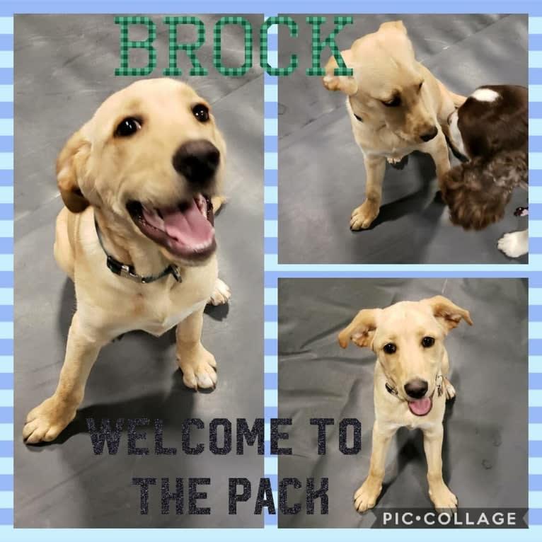 Photo of Brock, a Labrador Retriever, Rottweiler, and Siberian Husky mix in Hazen, Arkansas, USA