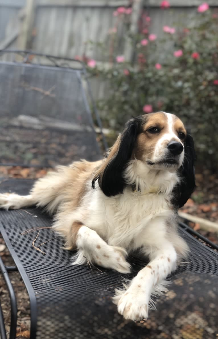 Photo of George, a Cocker Spaniel and Shetland Sheepdog mix in Milledgeville, Georgia, USA