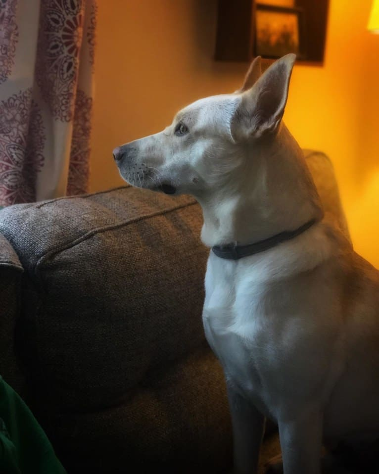 Photo of Luna, a German Shepherd Dog, American Pit Bull Terrier, Akita, and Mixed mix in Alabama, USA