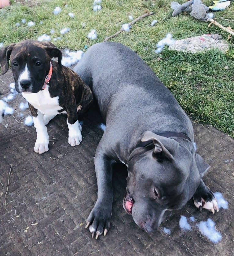 Photo of Fiona, an American Bully, American Pit Bull Terrier, Fila Brasileiro, and Cane Corso mix in Turlock, California, USA