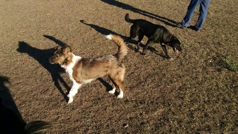 Photo of Kyla, a Labrador Retriever, Border Collie, Australian Shepherd, Akita, and Mixed mix in Kansas, USA