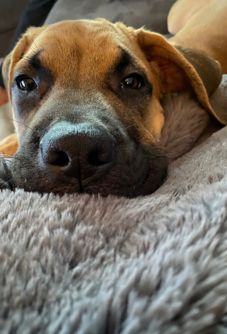 Photo of Leo, a Mastiff, Perro de Presa Canario, and American Bulldog mix in Burlington, ON, Canada