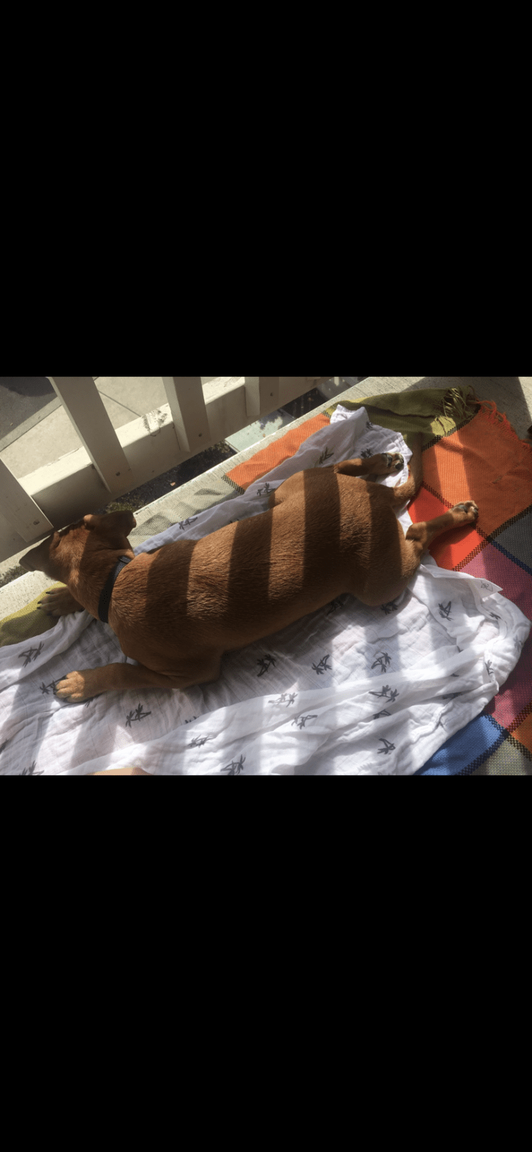Photo of Leeloo, an American Bully and Chihuahua mix in Bonadelle Ranchos-Madera Ranchos, California, USA