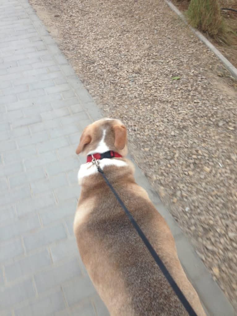 Photo of Johnny, a Middle Eastern Village Dog  in Abu Dhabi, Abu Dhabi, United Arab Emirates