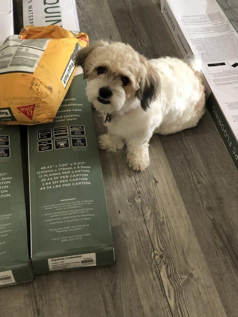 Photo of Livvy, a Shih Tzu, Chihuahua, and Lhasa Apso mix in Florida, USA