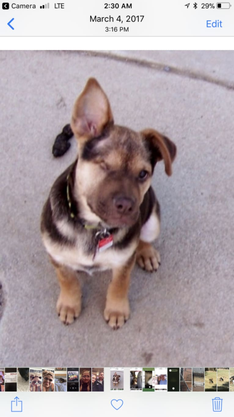 Photo of Stryder, a Chow Chow, Rottweiler, American Staffordshire Terrier, Labrador Retriever, and Mixed mix