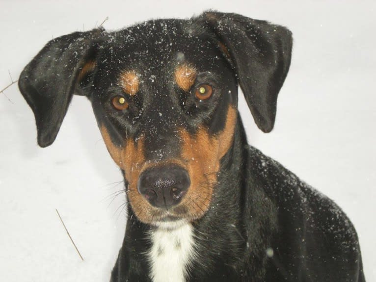 Photo of Jinx, a Doberman Pinscher and English Springer Spaniel mix