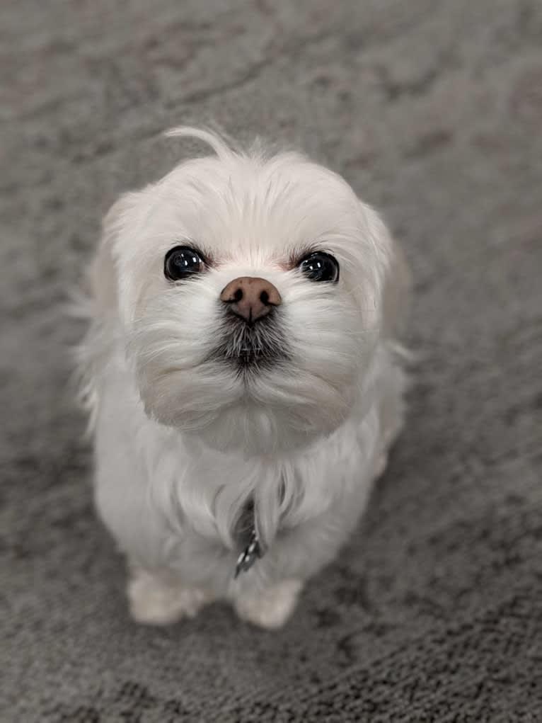 Photo of Otto von Bisbark (Otto), a Poodle (Small), Shih Tzu, Lhasa Apso, Pekingese, Maltese, and Mixed mix in Alberta, Canada
