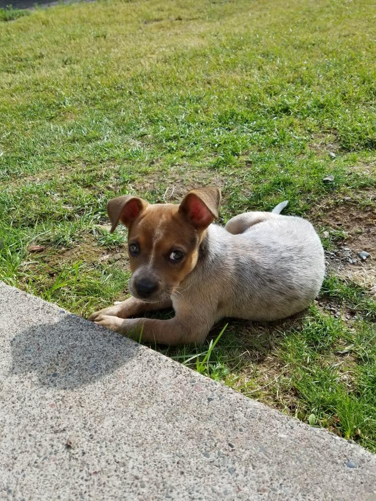 Photo of Tulsa Bleu, an Australian Cattle Dog and American Pit Bull Terrier mix in Duluth, Minnesota, USA