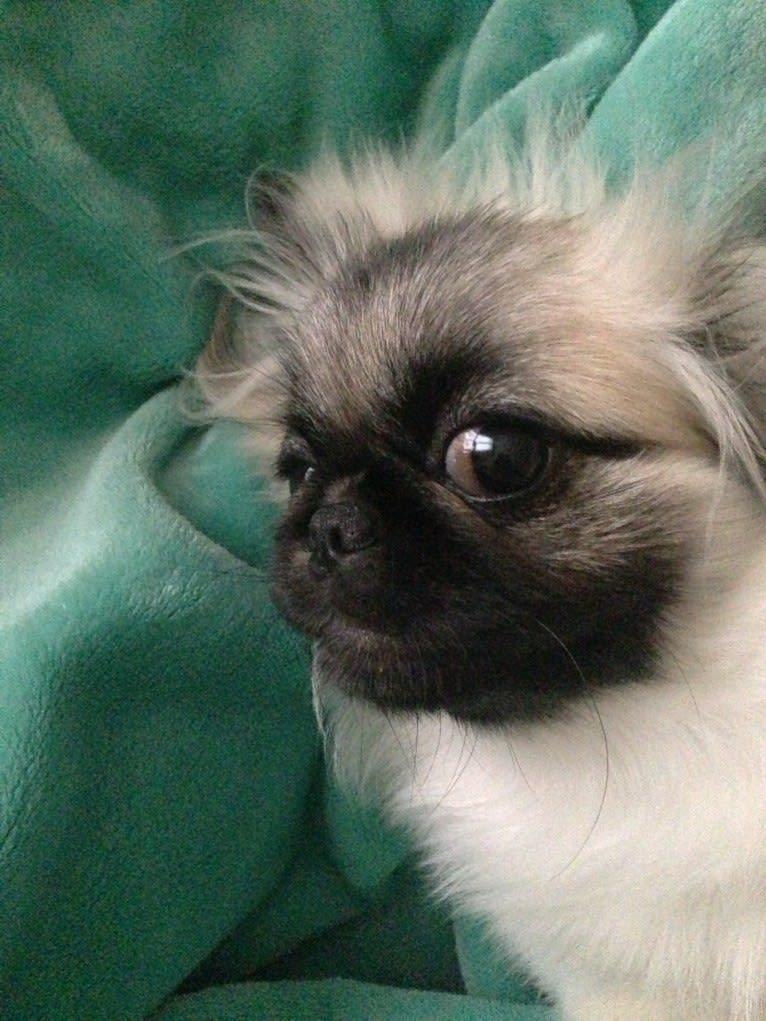 Photo of Mika, a Pekingese