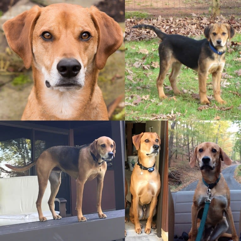 Photo of Charlie, an American Foxhound mix in Gastonia, North Carolina, USA