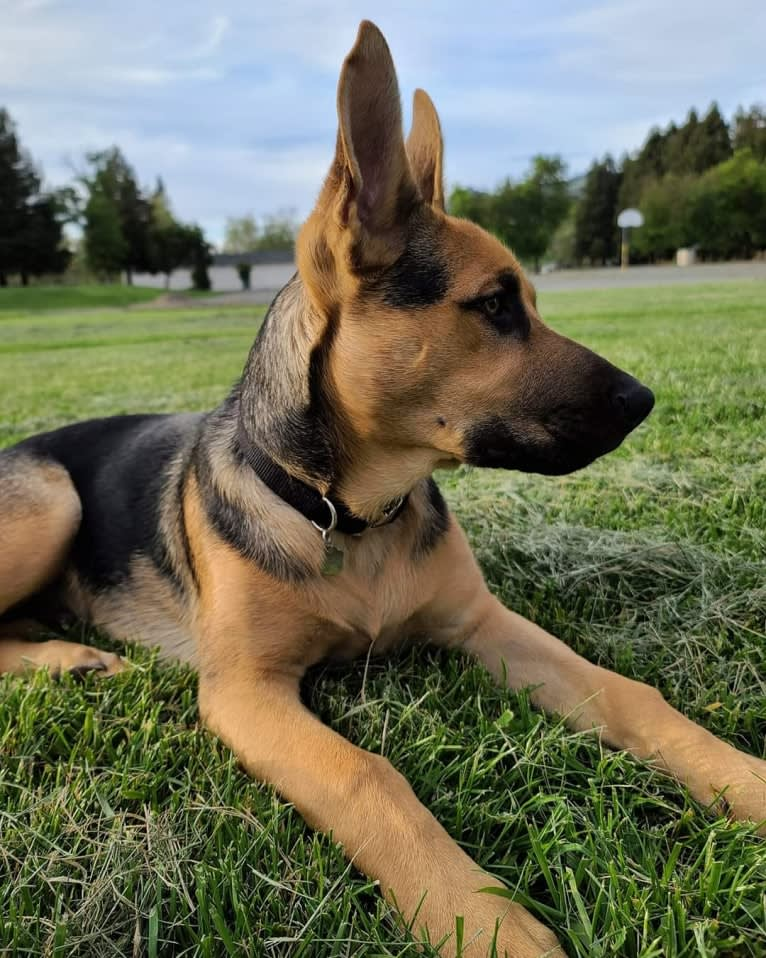 Photo of Grizz, a German Shepherd Dog, American Pit Bull Terrier, and Australian Cattle Dog mix in Modesto, California, USA