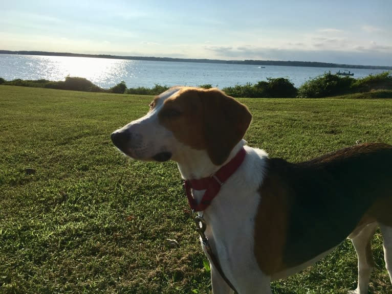 Photo of Riggins, an American Foxhound  in Washington, District of Columbia, USA