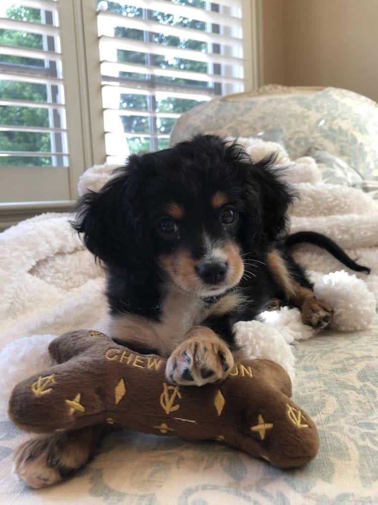 Photo of Prince, a Cavalier King Charles Spaniel, Poodle (Small), and Miniature/MAS-type Australian Shepherd mix in Arkansas, USA
