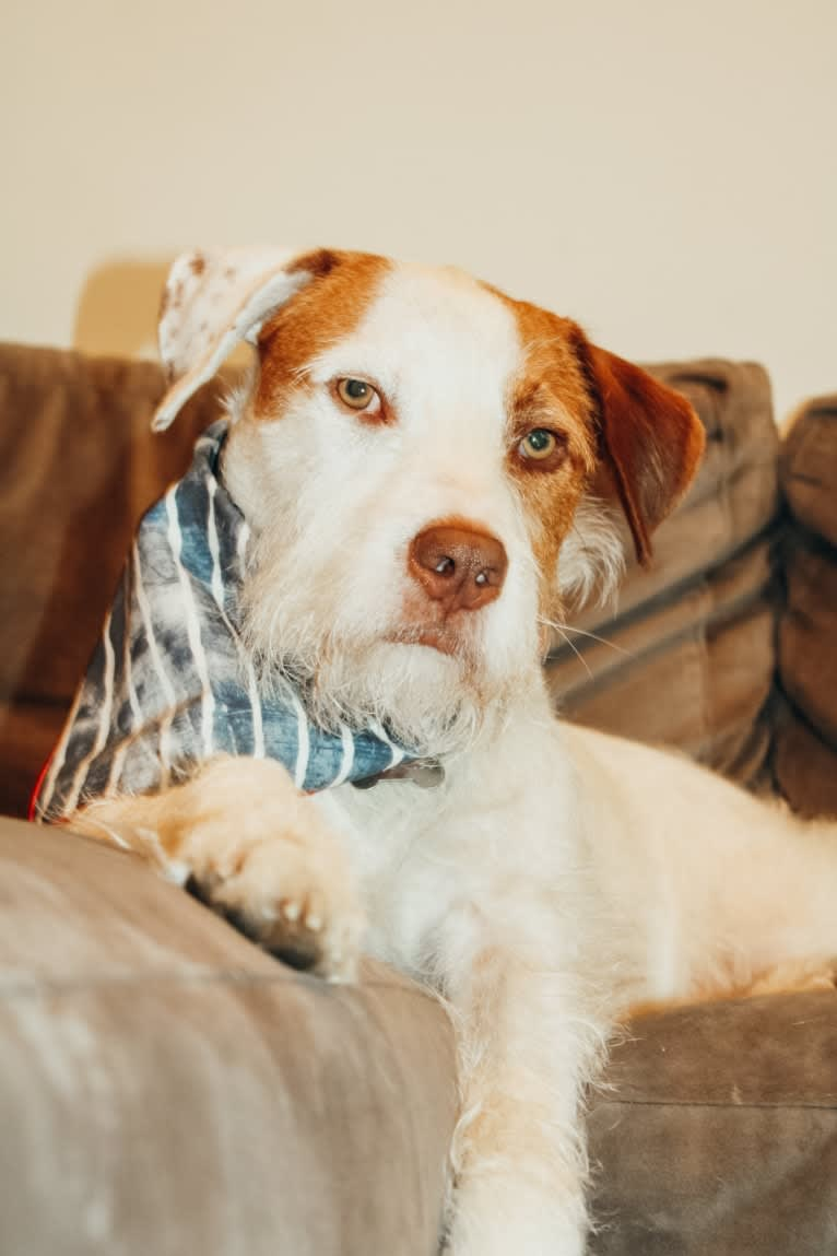 Photo of Calihan (Cali), an American Pit Bull Terrier, Miniature/MAS-type Australian Shepherd, and Mixed mix in Arkansas, USA