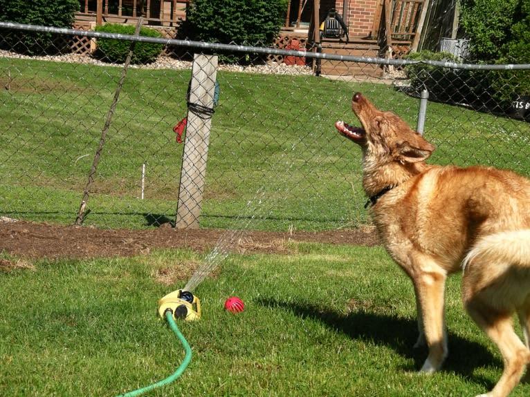 Photo of Duvel, a Siberian Husky, German Shepherd Dog, and Mixed mix in Lansing, Michigan, USA