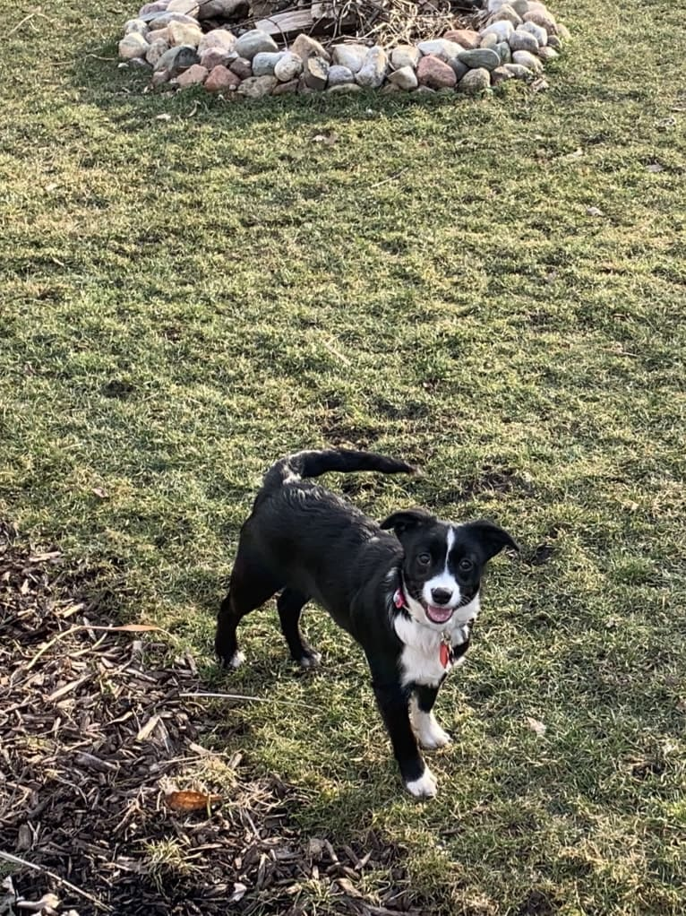 Photo of Petunia, an Australian Cattle Dog, Beagle, and Mixed mix in Kentucky, USA