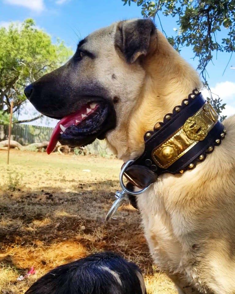 Photo of Ziva the Diva, an Anatolian Shepherd Dog  in Texas, USA