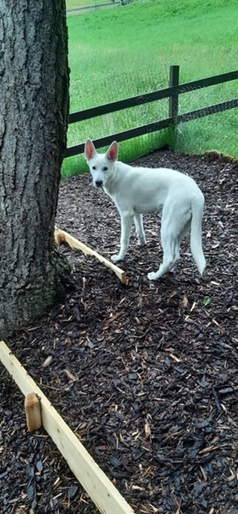 Photo of ARAGORN VON WHITE NOBLESS, a White Shepherd  in Karlsruhe, Germany