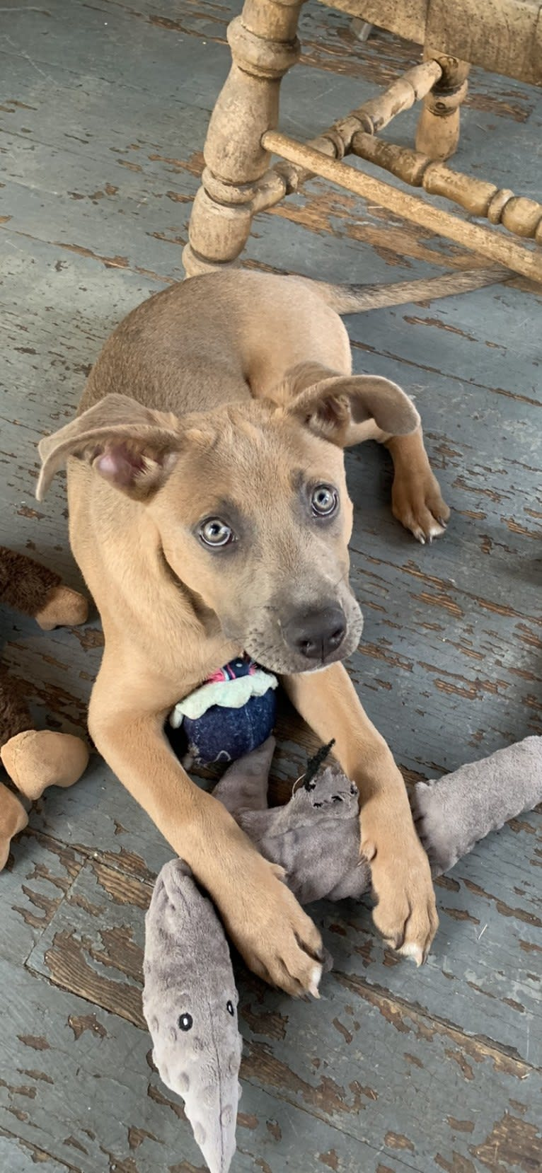 Photo of Remy, an American Pit Bull Terrier, American Staffordshire Terrier, Akita, and Siberian Husky mix in El Paso, Texas, USA