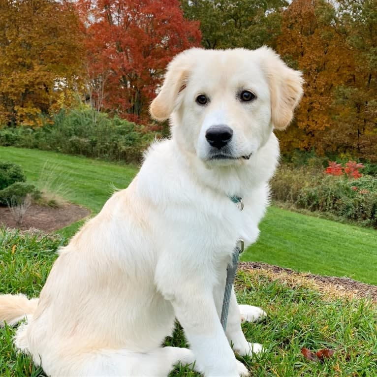 Photo of Lola, a Great Pyrenees, Rottweiler, Chinese Shar-Pei, and American Pit Bull Terrier mix in Cookeville, Tennessee, USA