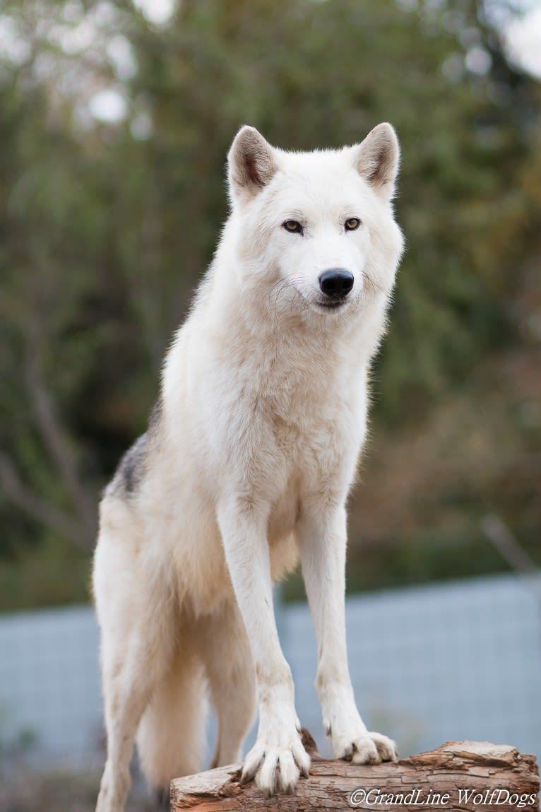 Photo of Ace, GrandLine WolfDog, a   in Landau, Rhineland-Palatinate, Germany