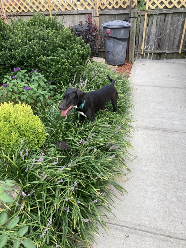 Photo of Poppy, a Doberman Pinscher, Weimaraner, American Pit Bull Terrier, and Black and Tan Coonhound mix in Bethpage, New York, USA