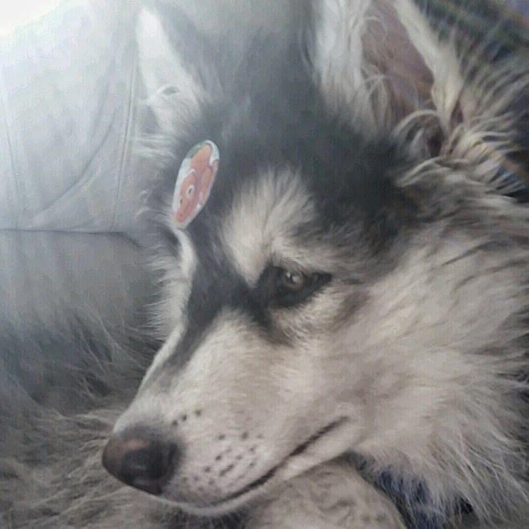 Photo of SOJU, a Siberian Husky, Alaskan Malamute, Samoyed, and German Shepherd Dog mix in San Diego, California, USA